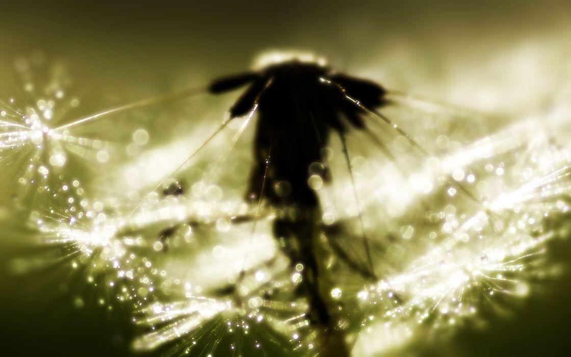 dandelion macro close up bokeh sunlight light wallpaper