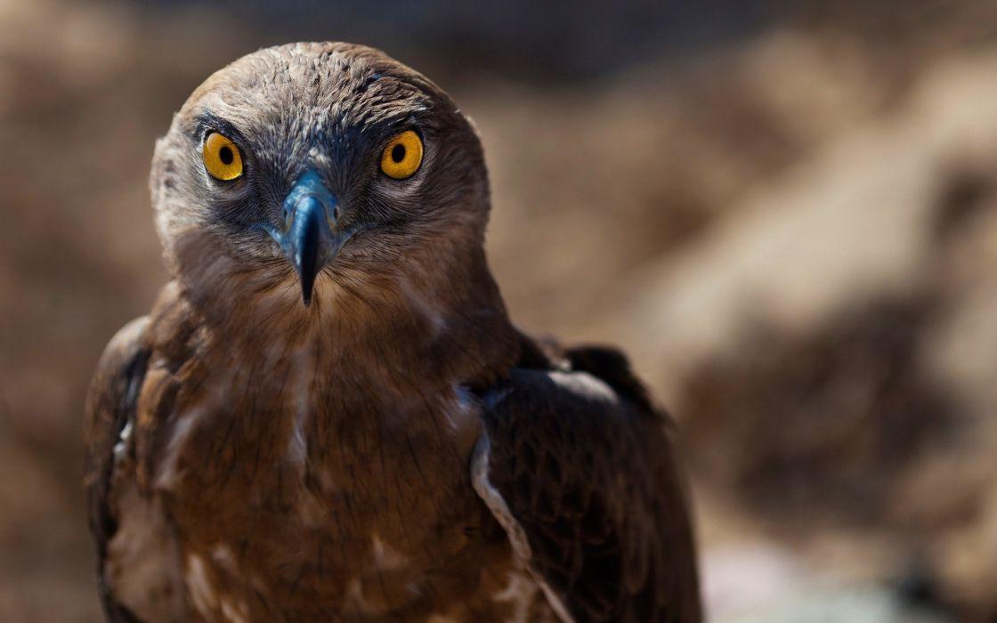 hawk eyes wallpaper
