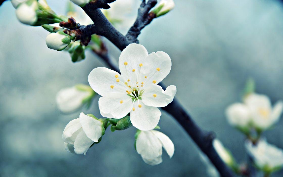 blossom trees fruit wallpaper