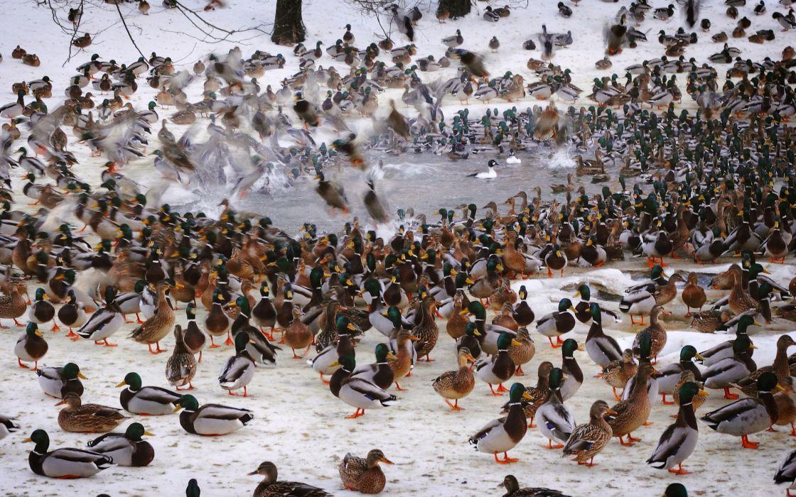 waterfowl fowl ducks flock wallpaper