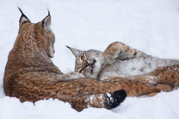 Big cats Lynx Glance Snow Snout winter wallpaper