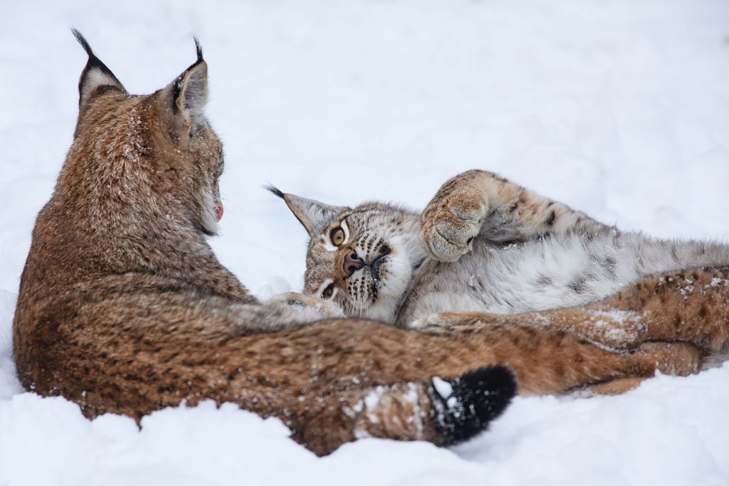 Big cats Lynx Glance Snow Snout winter wallpaper