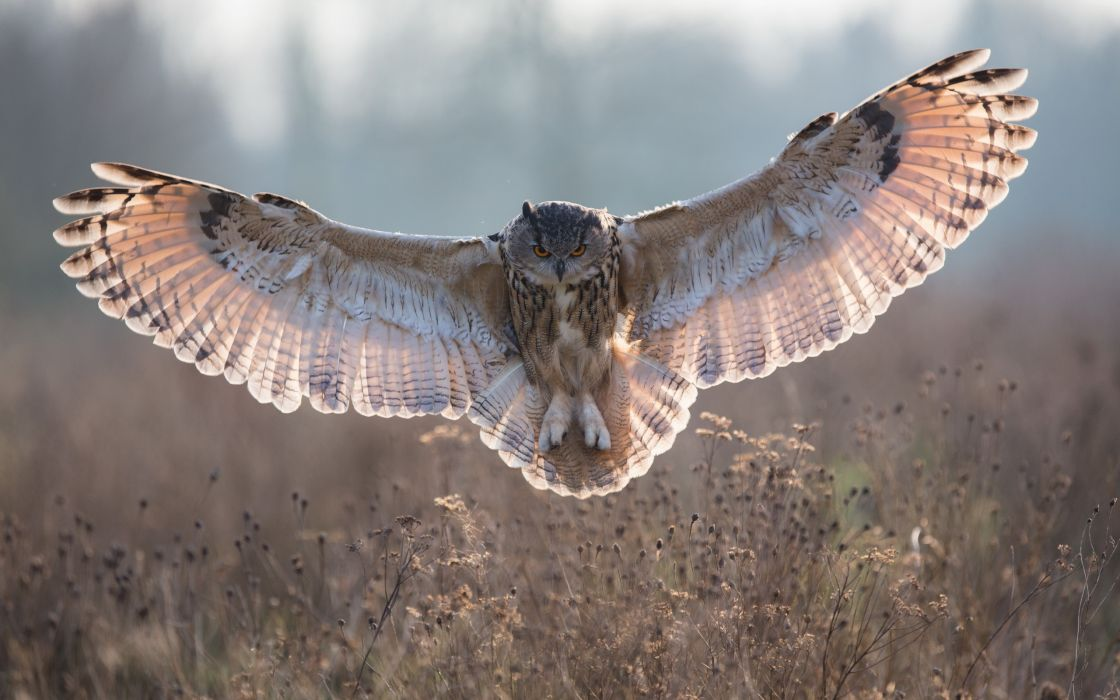 owl feathers wings wallpaper