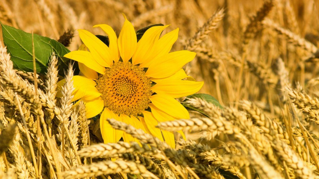 sunflowers wheat grass macro wallpaper
