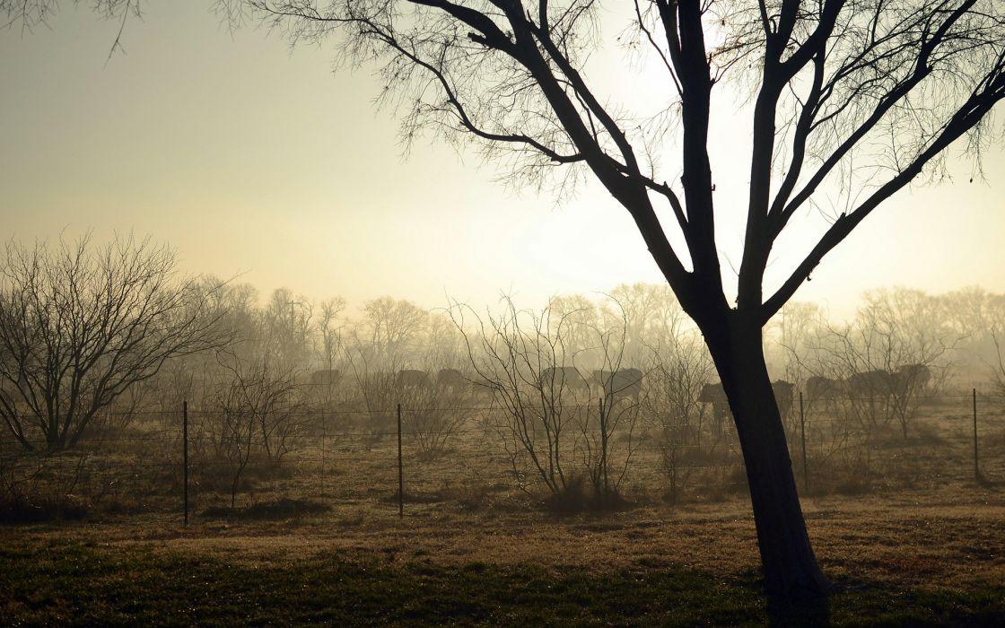 cows bovine trees landscapes morning dawn fog sunrise wallpaper