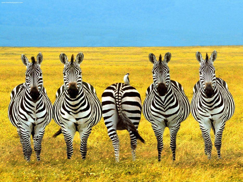 africa zebra stripes pattern wallpaper