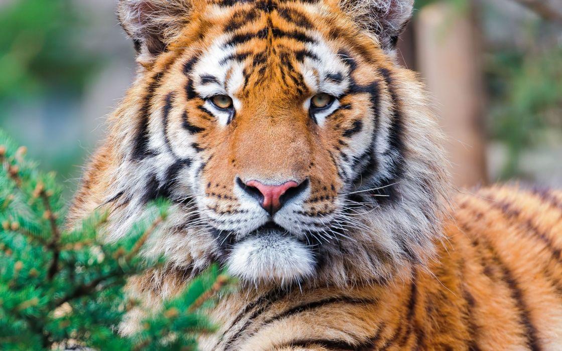 tiger pov wallpaper