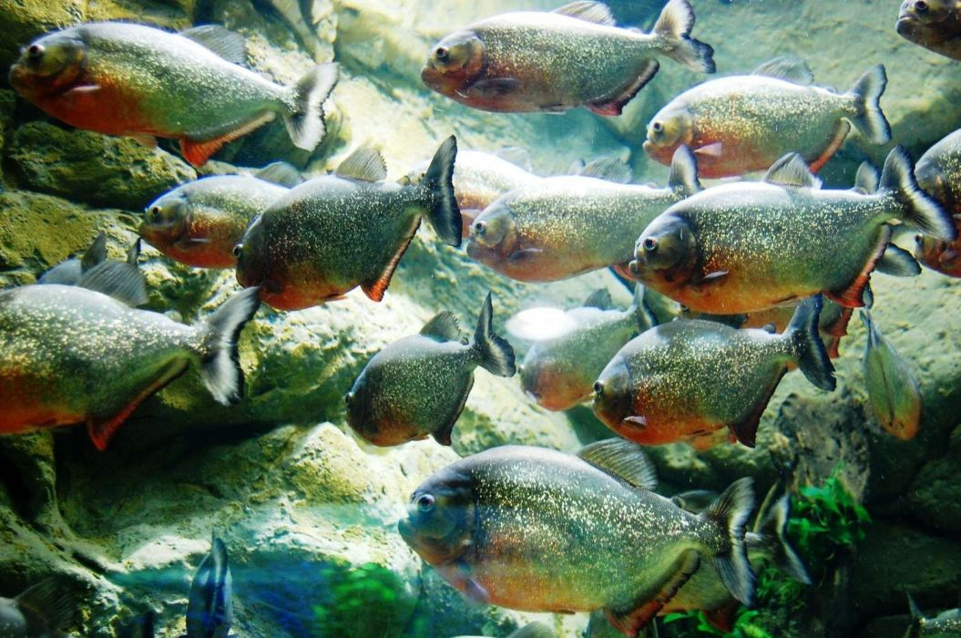 piranha wallpaper