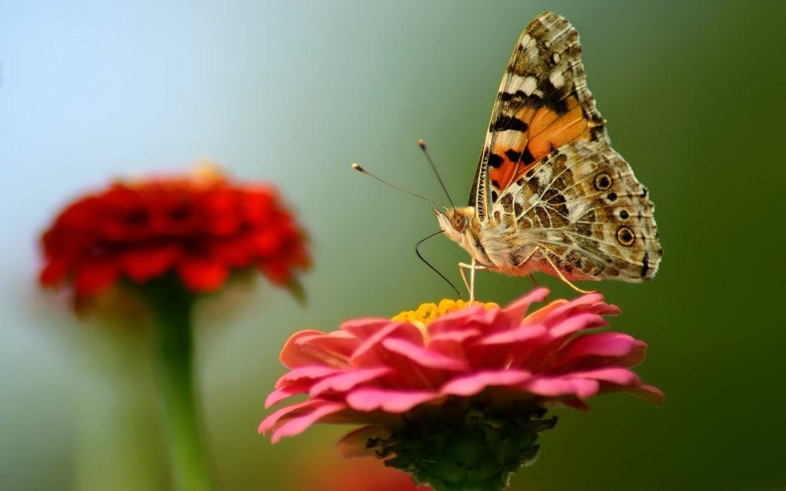 butterfly flowers macro wallpaper