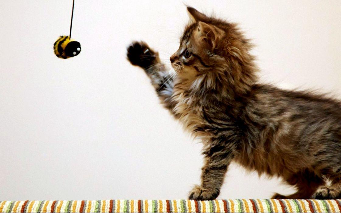kitten wallpaper