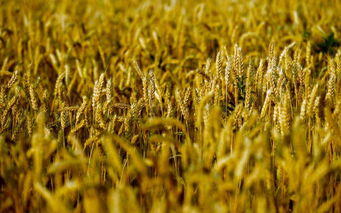landscapes grass macro grain farm wallpaper