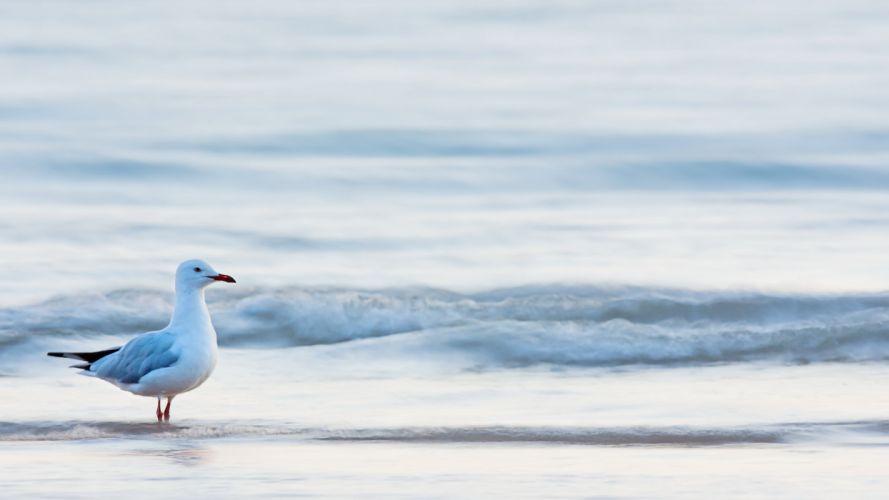 gull beaches ocean waves pov wallpaper