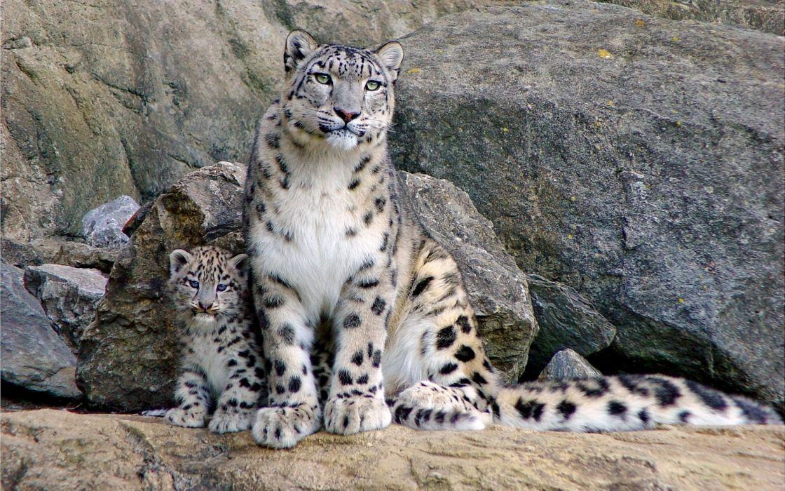 cats leaopards cubs wallpaper