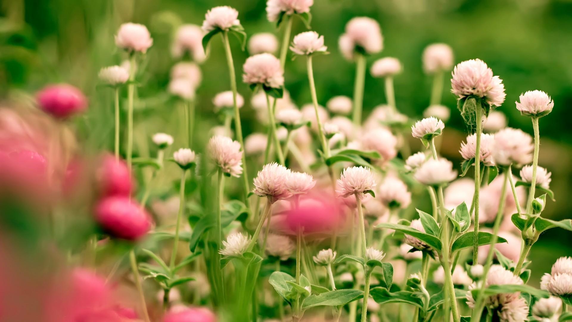 Цветы клевер  № 1341258 загрузить