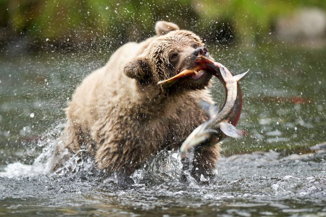 grizzly bears fishes hunting food rivers alaska nature drops wallpaper