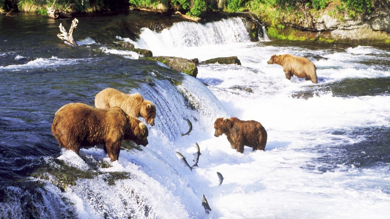 grizzly bears alaska fishes salmon rivers nature wallpaper