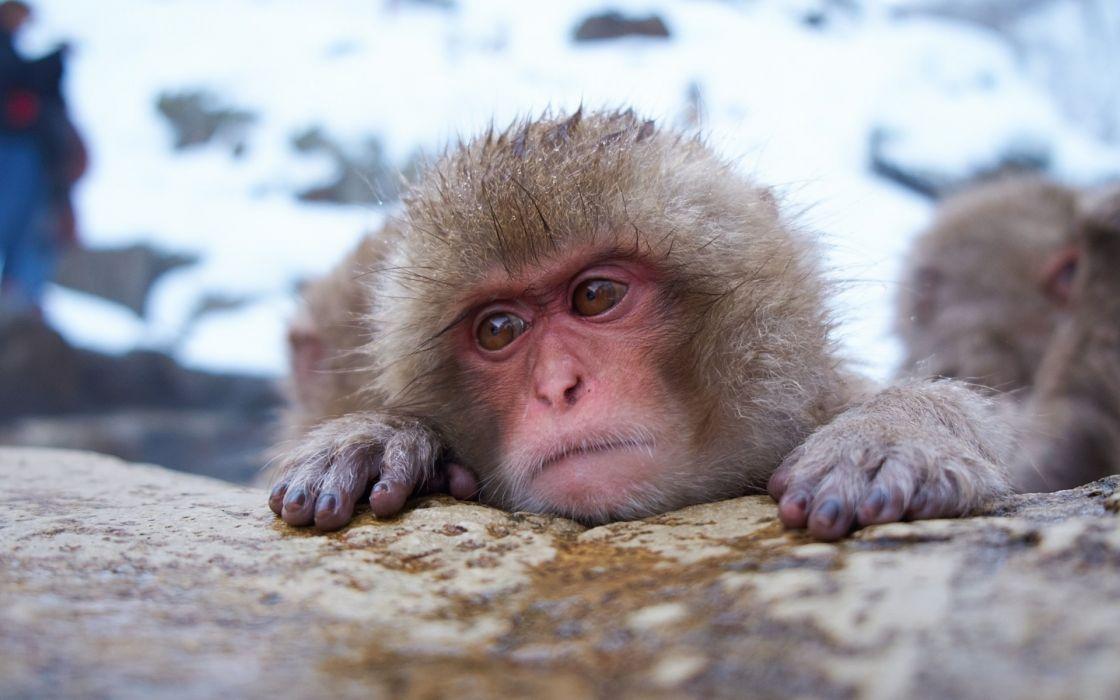 monkey snow face humor winter japan wallpaper