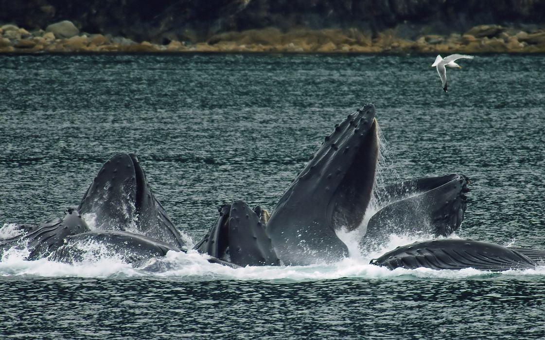 whales breach gull bay ocean sea wallpaper