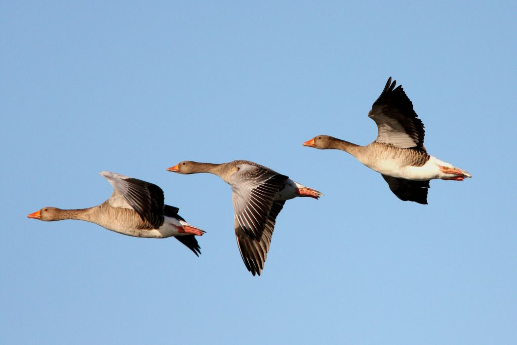 goose geese flight fly wings nature sky wallpaper