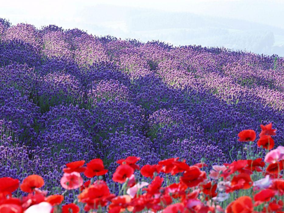 landscapes garden field poppy purple wallpaper