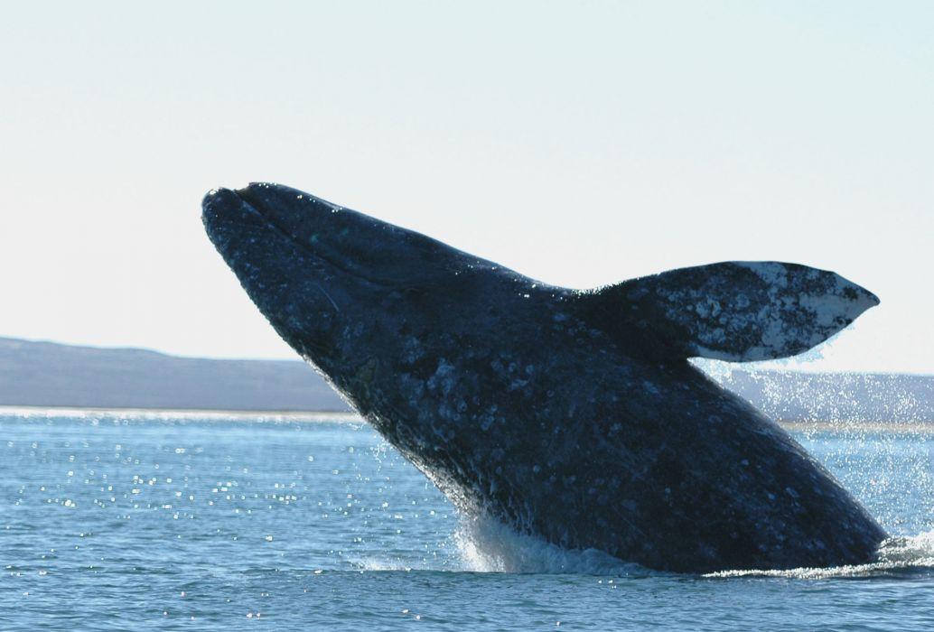 whales breach bay ocean sea sly coast shore wallpaper