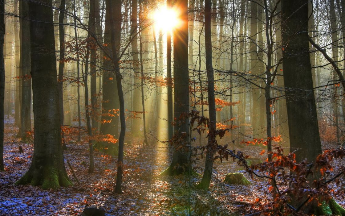 landscapes forest woods trunks sunlight sunrise sunset beam rays winter snow autmn leaves wallpaper