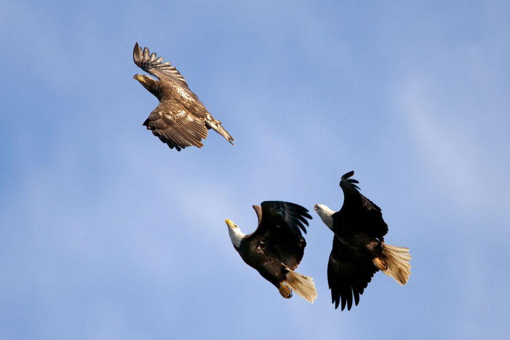 eagles fly flight wings wallpaper