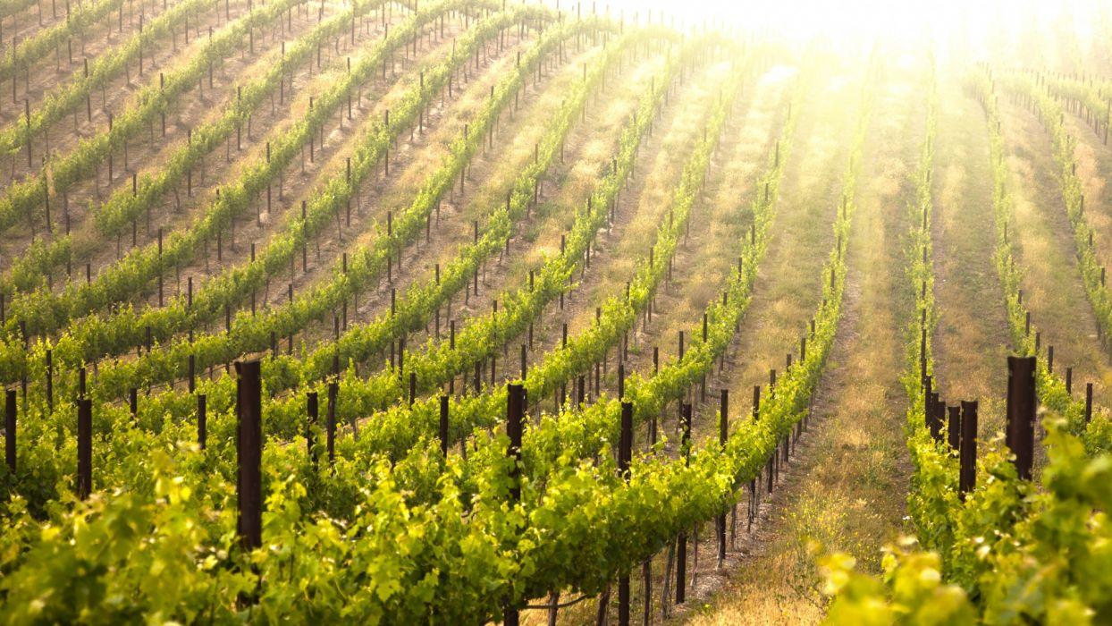 vineyard pattern column sunlight sunrise sunset fruit grapes leaves farm crop wallpaper