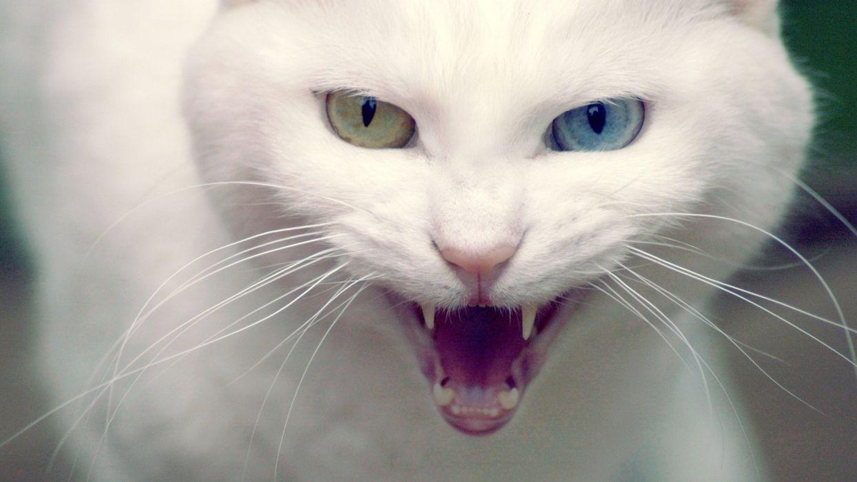 cats heterochromia teeth eyes face scream snarl fangs wallpaper