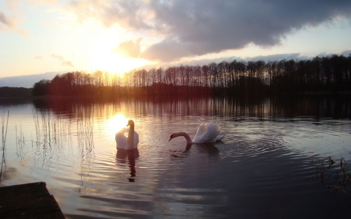 swan sunset sunrise sky clouds lakes water reflection nature wallpaper