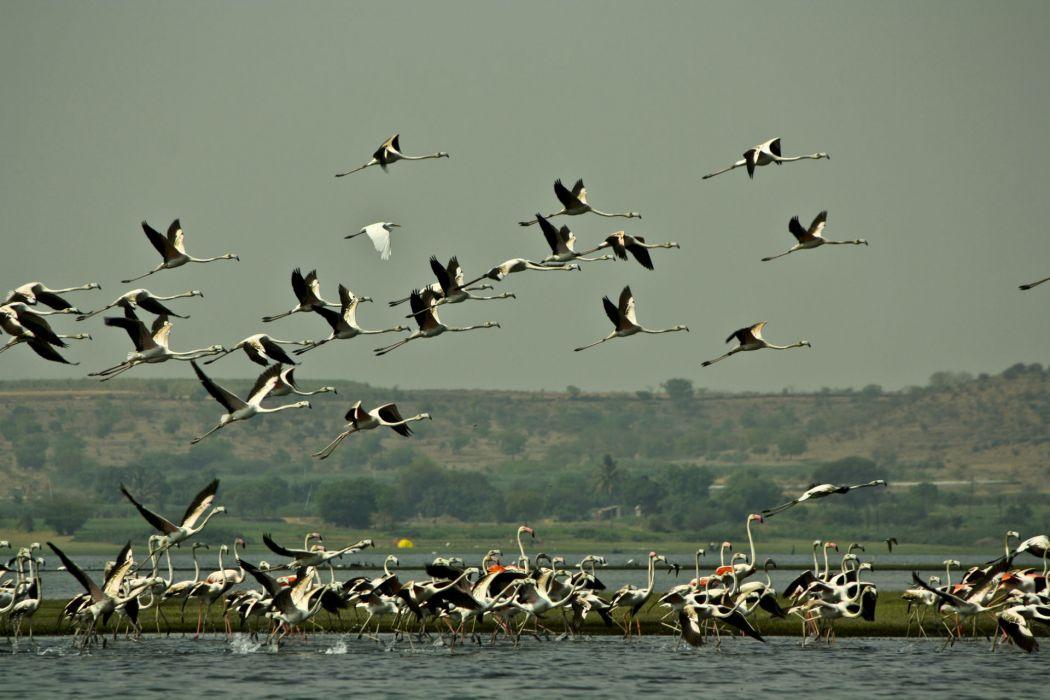 flamingo migration flock flight fly wings lakes nature landscapes sky wallpaper