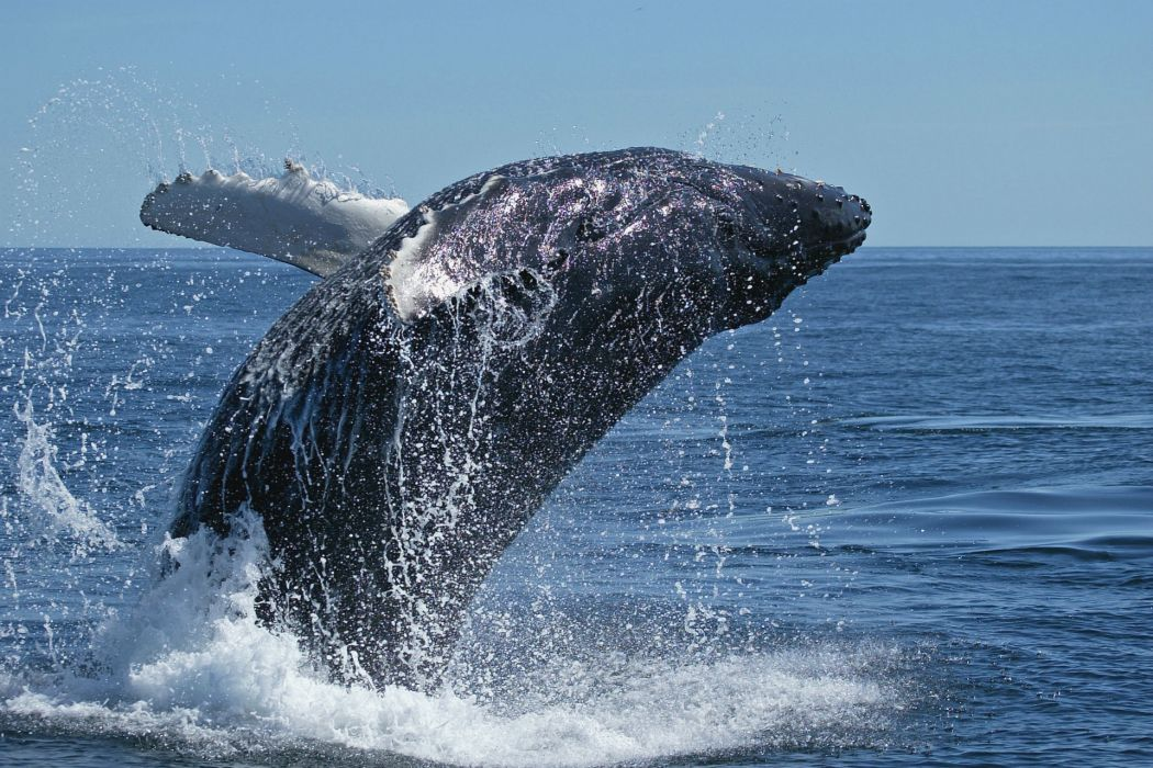 whales breach drops splash spray ocean sea bay water wallpaper
