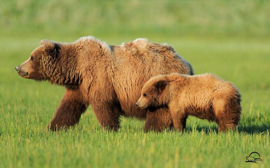 Bear alaska landscapes nature wallpaper