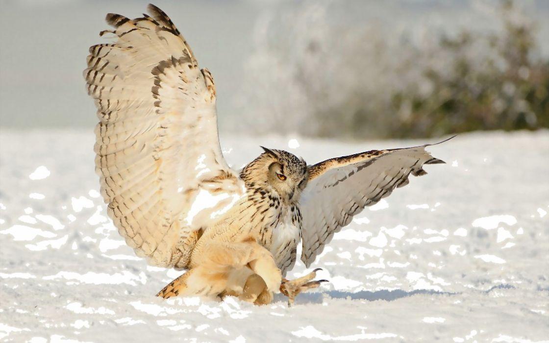 owl winter snow wallpaper