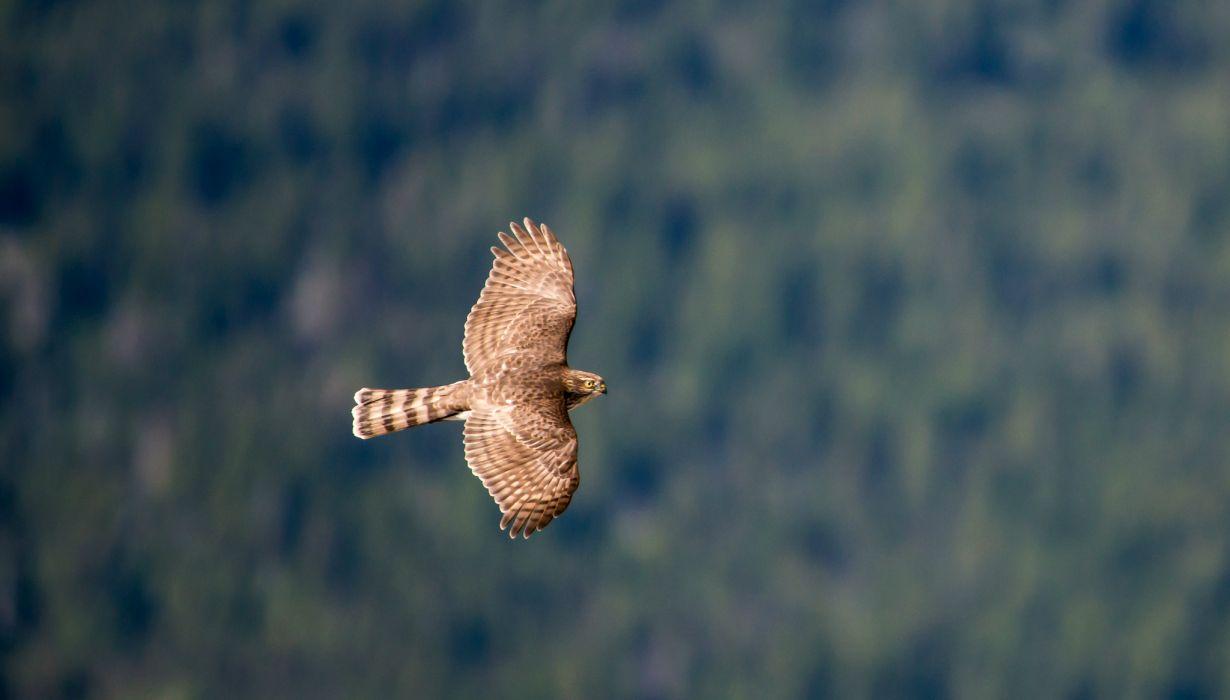 hawk flight fly wallpaper