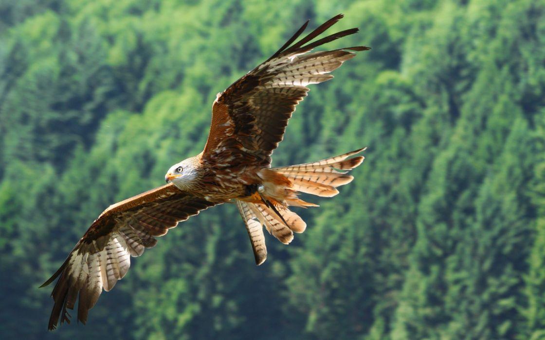 eagle flight fly wings feathers wallpaper