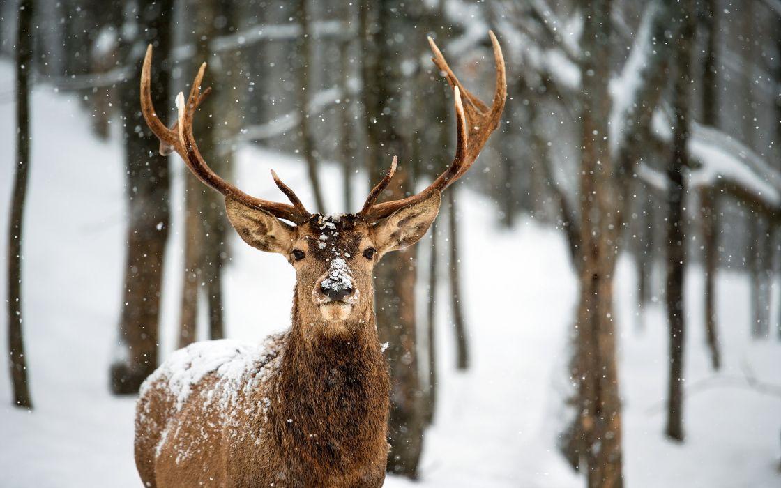 deer landscapes nature trees forest woods winter snow flakes snowing wallpaper