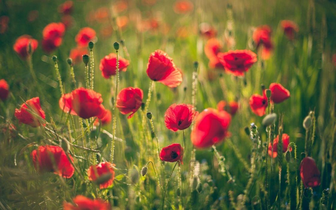 poppy poppies fields plants wallpaper