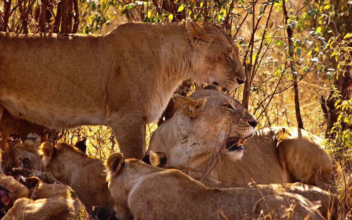 lions babies cubs africa wallpaper