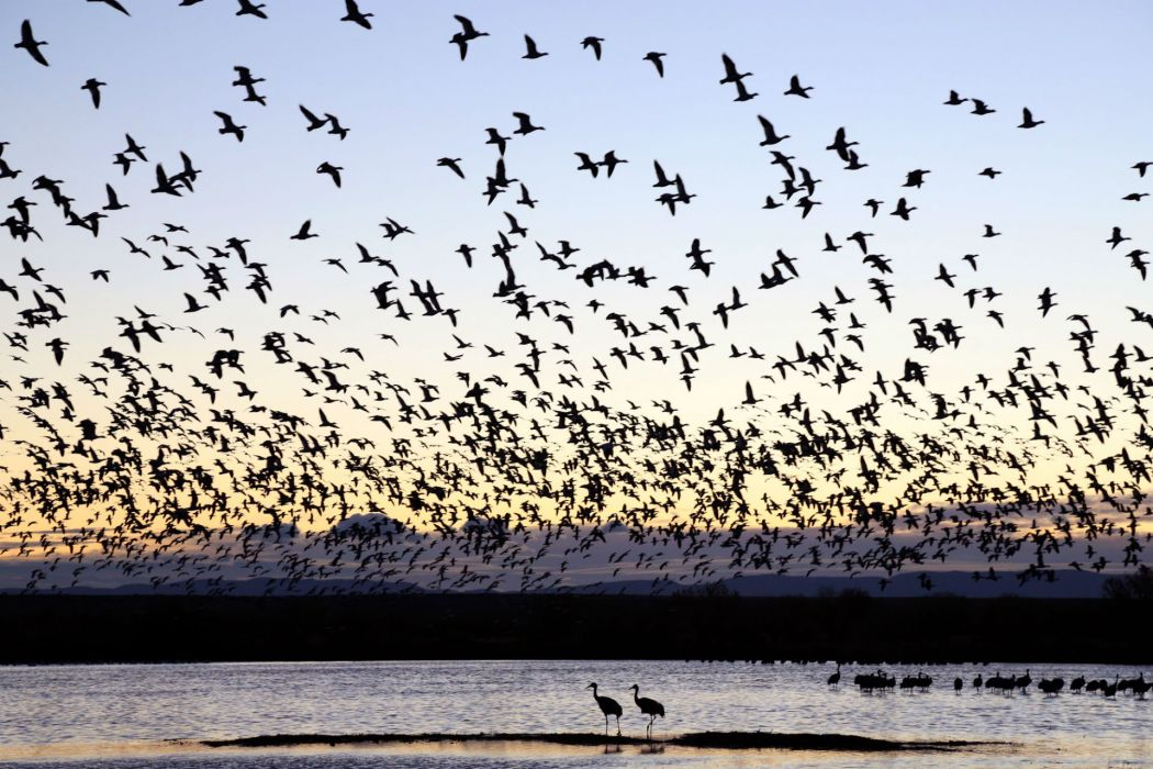 flock flight fly sunset sunrise lakes wallpaper