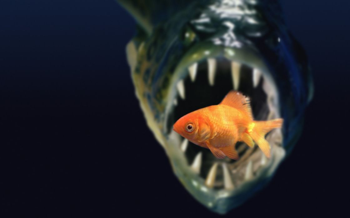 piranha goldfish dark food death wallpaper