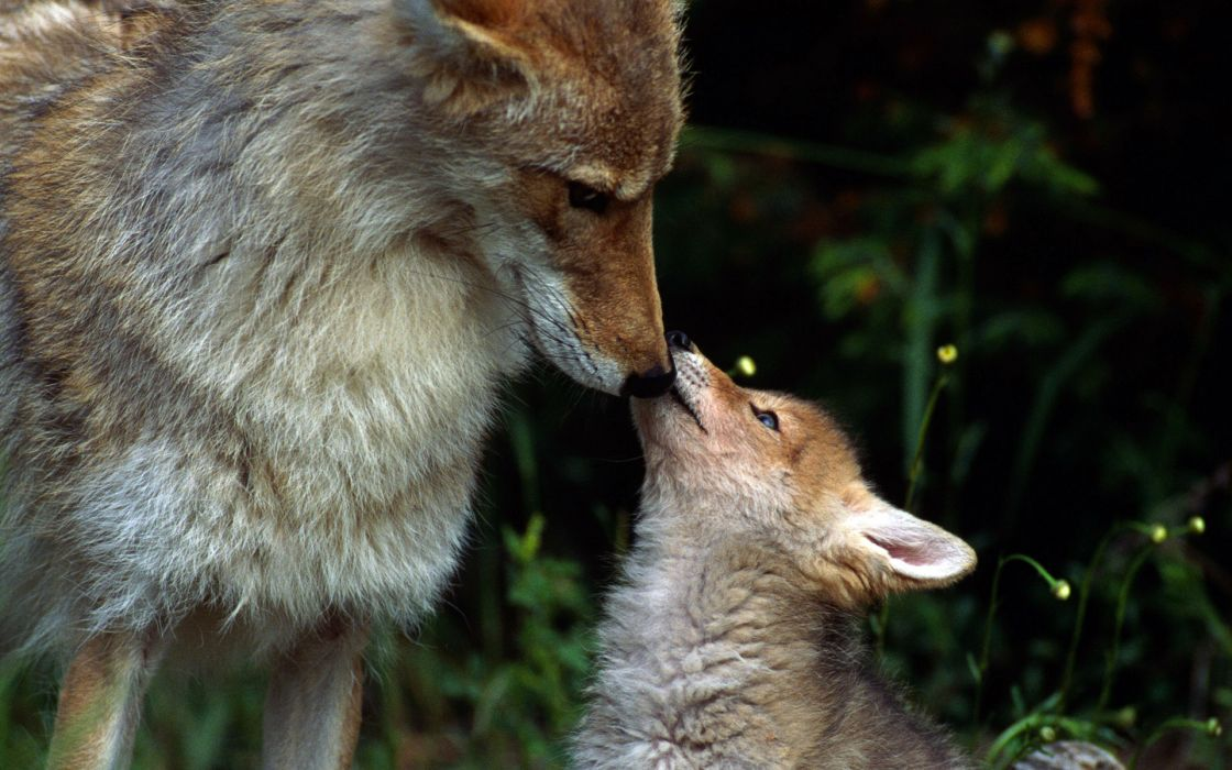 coyote dogs babies puppy wallpaper
