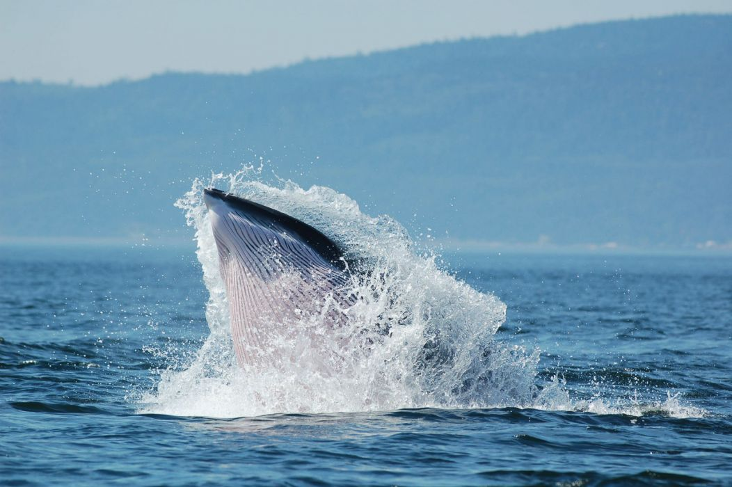 whales breach ocean sea splash spray drops landscapes shore coast wallpaper