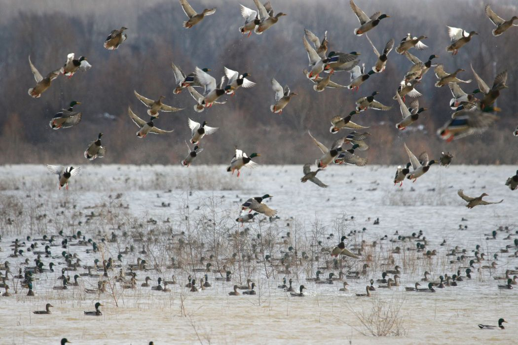 ducks flock nature lakes wallpaper