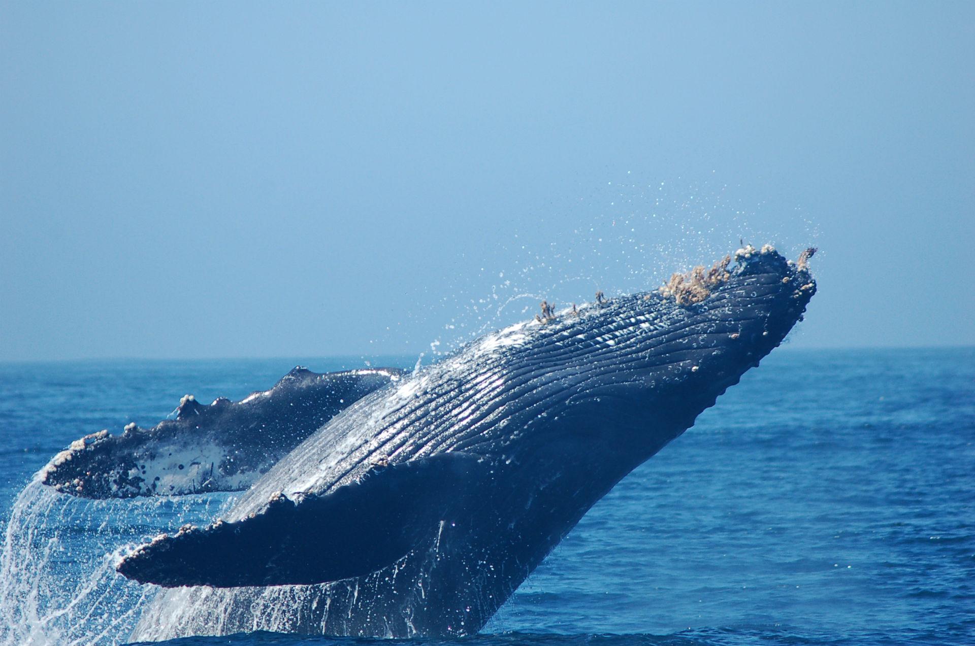 Oceans Whales Whales Breach Ocean Sea Splash