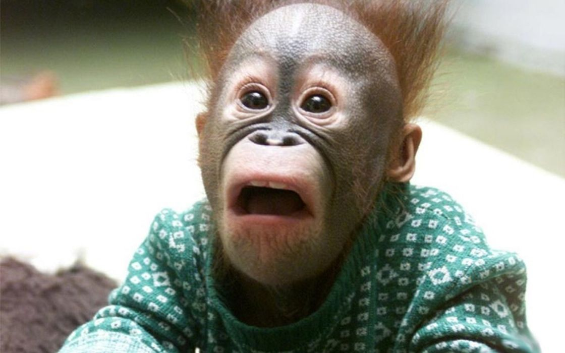 orangutan humor funny face babies cute wallpaper