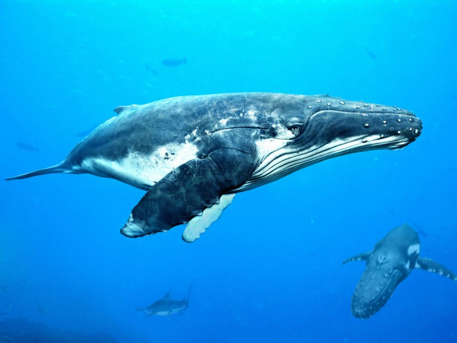 whales underwater pod ocean sea wallpaper