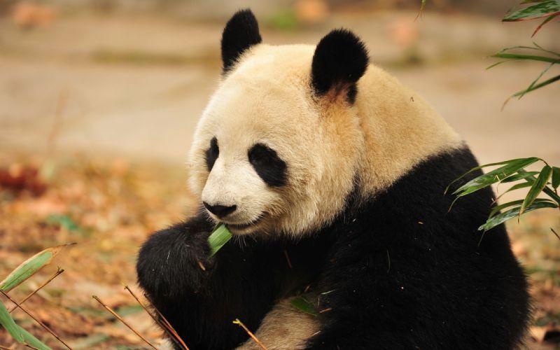 panda eat wallpaper