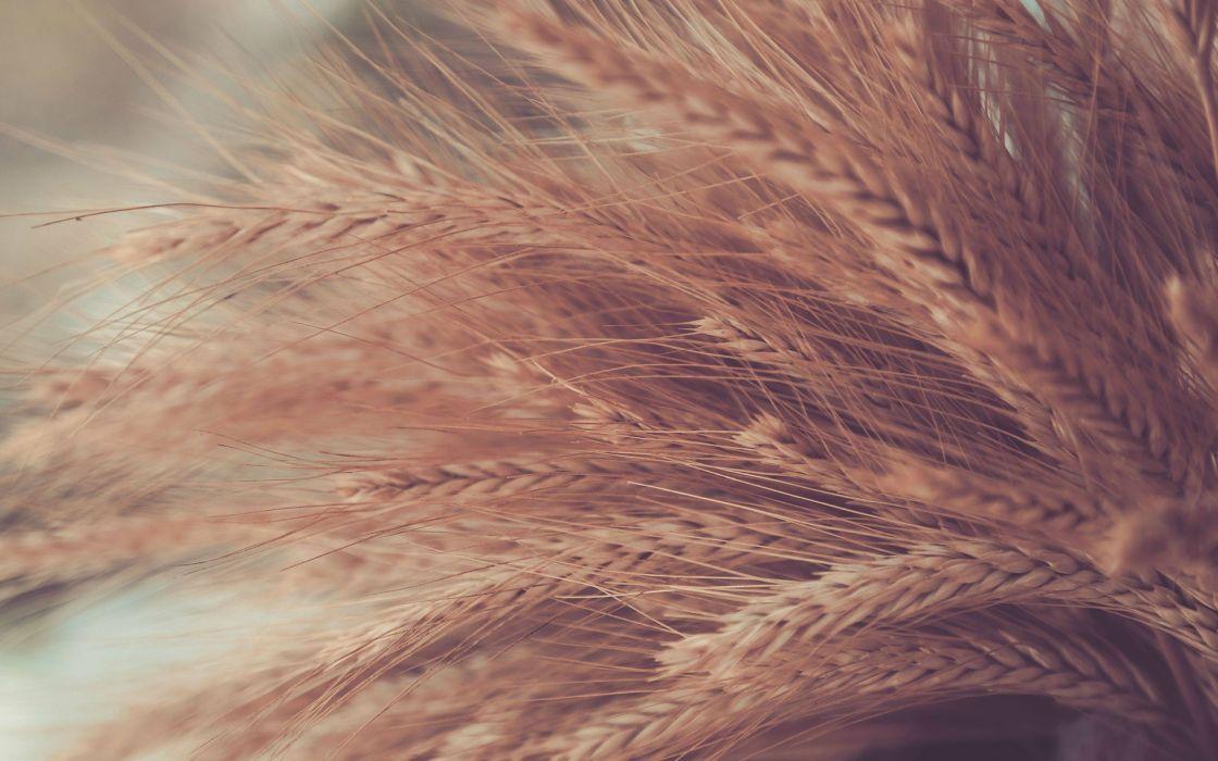 wheat grass wallpaper
