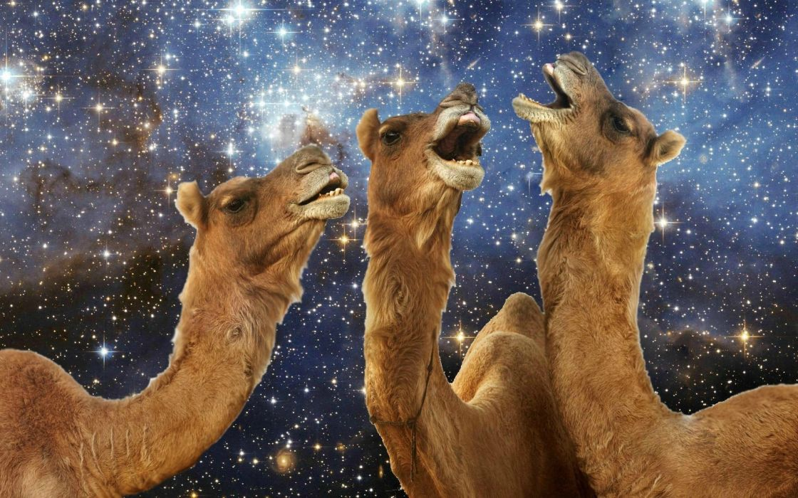 camel humor space wallpaper